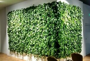 50Pcs Epipremnum Liana Seeds Natural Home Decor Foliage Potted Bonsai Plants