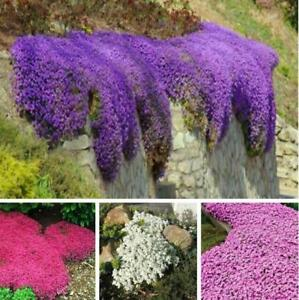 Image Is Loading 100pcs Rare Rock Cress Seeds Climbing Plant Creeping