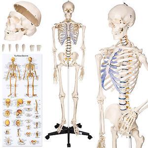 Human skeleton anatomical model Life Size 181cm medical + poster + ...