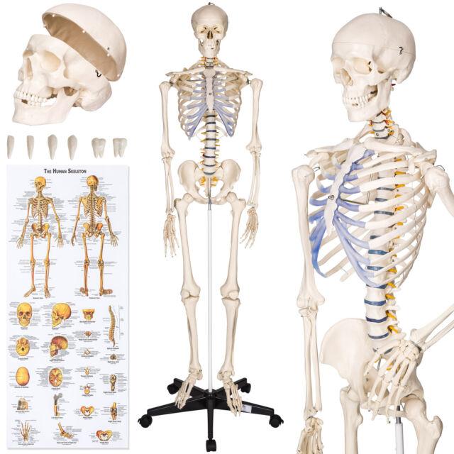 Tectake Human Skeleton Anatomical Model Life Size 181cm For Sale