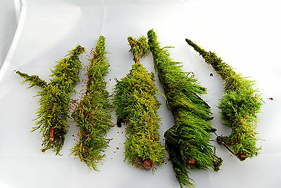 5 real branches with live moss growing on them for terrarium or vivarium