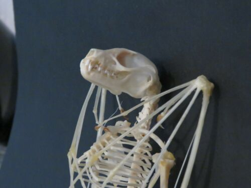 Véritable squelette de chauve souris Cynopterus sphinx 15 16 cm trophée chasse