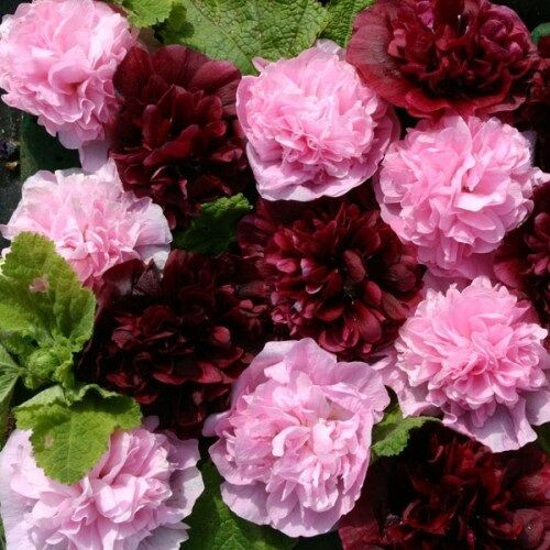 30+  ALCEA VERY BERRY DOUBLE HOLLYHOCK FLOWER SEEDS MIX / PERENNIAL