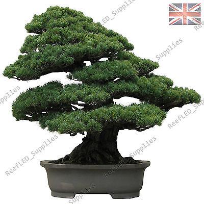 Rare Japanese Black Pine Bonsai Tree Seeds 20 Viable Seeds Uk Seller Ebay