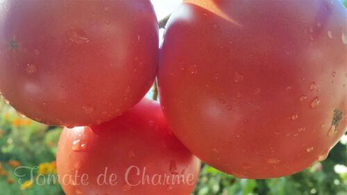 10 graines de tomate rare Chaynaya Roza une variété de Sibérie méth.bio