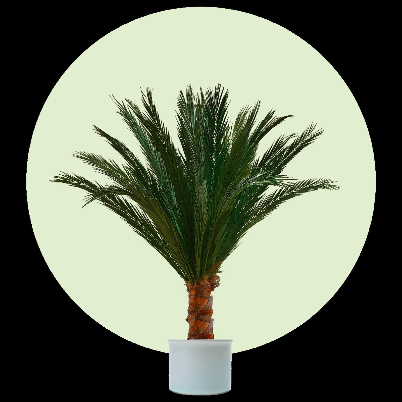 Kunstpalme, künstliche Palme, Dekopalme, Palme, echte Palmwedel