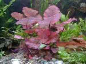4-Bund-Wasserpflanzen-f-Aquarium-2-Echinodorus-Diskus