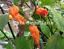 Hallows-EVE-Orange-A-Rare-Stunning-Hot-Chili-Variety-Australian-Grown-Seeds