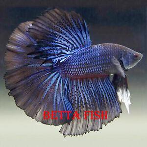 Black Blue Mamba Halfmoon Live Male Betta Fish - High Quality Grade A+++