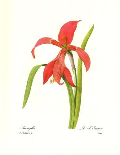 1991 Vintage REDOUTE FLOWER #5 AMARYLLIS GORGEOUS Color Art Print Lithograph