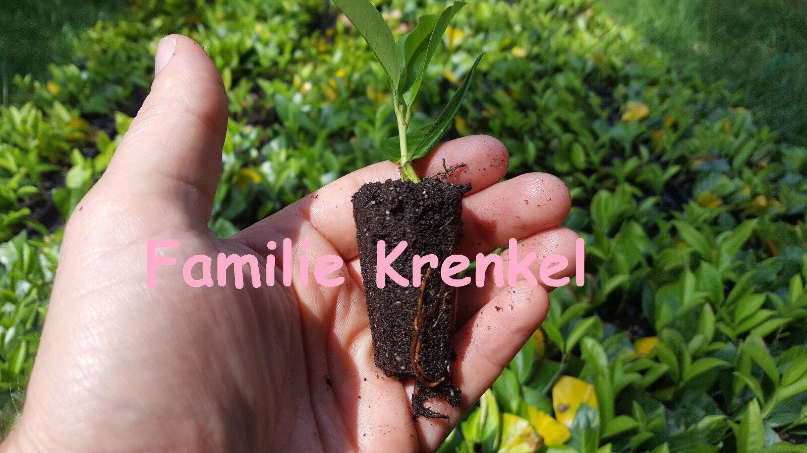 80 Stück Kirschlorbeer Rotundifolia im Topf bewurzelter Steckling Heckenpflanze