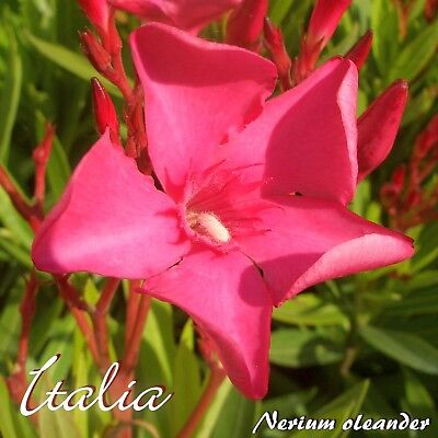 """3 pièces LAURIERS ROSES /""""Italia/"""" boutures-Nerium lauriers roses-Min"""