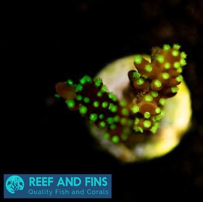 Live Garf Bonsai Acropora Sps Coral Frag Saltwater Ebay