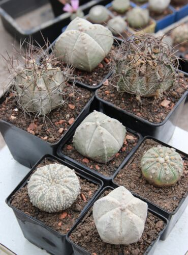 Own greenhouse. 100 SEEDS.fresh Astrophytum asterias+myriostigma+capricorne