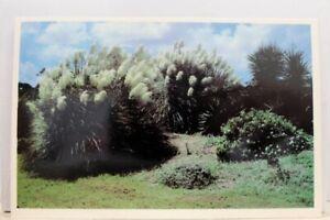 Georgia-GA-Jekyll-Island-Pampas-Grass-Postcard-Old-Vintage-Card-View-Standard-PC