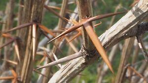 5-Gewoehnliche-Berberitze-Sauerdorn-Berberis-vulgaris-60-100-cm-wurzelnackt