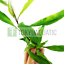 Hygrophila-Angustifolia-Bunch-Stems-Live-Aquarium-Plant-Hygro-Willow-Freshwater thumbnail 1