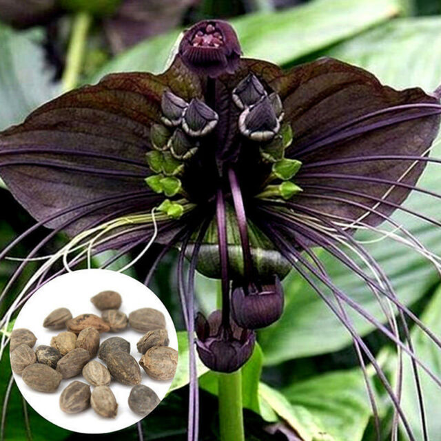 10x funny rare black bat tacca chantrieri whiskers flower seeds garden plant US