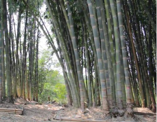 Calcutta Bamboo USA Male Bamboo Dendrocalamus Strictus 10 Seeds Solid Bamboo