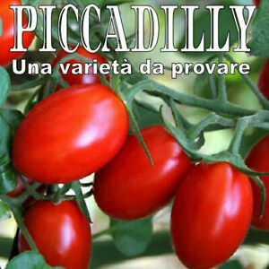 Tomato seeds Piccadilly American Salad Fresh Preserved Seed Tomate