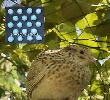7 Rare Italian Blue Celadon Coturnix Quail Hatching Eggs Free Shipping