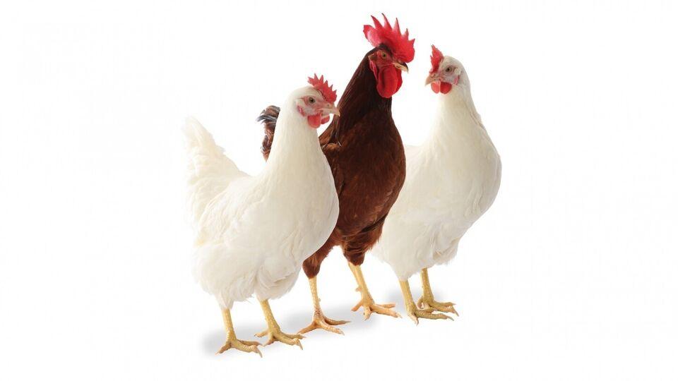 Høns, 100 stk.