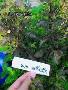 700-Thai-Red-Holy-Basil-Seeds-Krishna-Tulsi-Ocimum-Sanctum-Food-Herb-Seeds