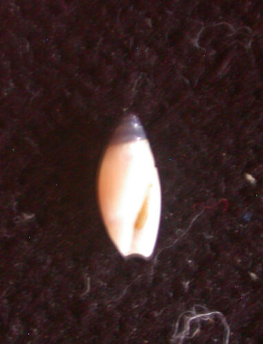 seashell Olivella floralia 6-6.5mm Gem