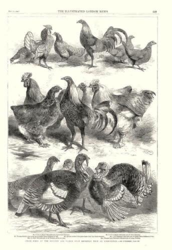 Prize Birds at the Birmingham Show - Pedigree Birds - by Harrison Weir - 1862