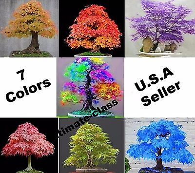 20 Japanese Maple Tree Bonsai Seeds Acer Palmatum 5 Colors You Choose Ebay