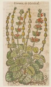 JACQUES-DALECHAMPS-HORMIN-DE-MATTHIOLI-ORMINO-BOTANICA-HORMINUM-BOTANY-1630