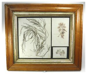 Antique-Natural-History-specimen-seaweed-botanical-pressings-maple-frame-2