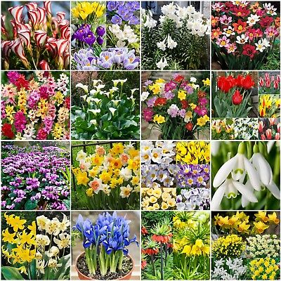 GARDEN BULBS,TUBER,PLANT SPRING,SUMMER FLOWERING FRESH,QUALITY,EASY GROW CORMS
