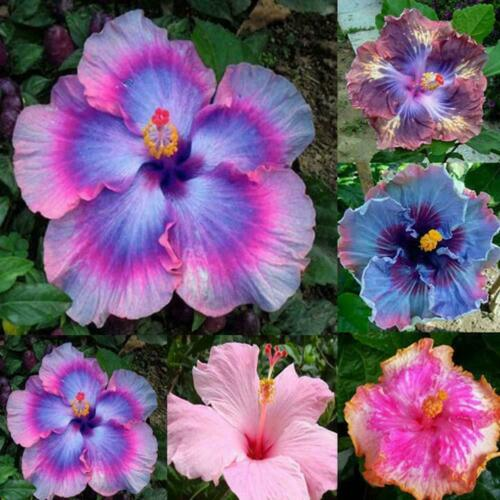 30X 24 Colors Giant Hibiscus Seeds Dinnerplate Hibiscus Flower Perennial V6Q0
