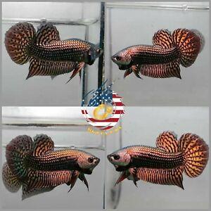 Live Betta Fish High Quality Wild Betta Alien Copper - USA Seller