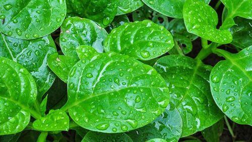 Seller 50 Seeds Bangladeshi Poi Shak// Malabar Spinach// পুঁই শাক । পই শাক । U.K