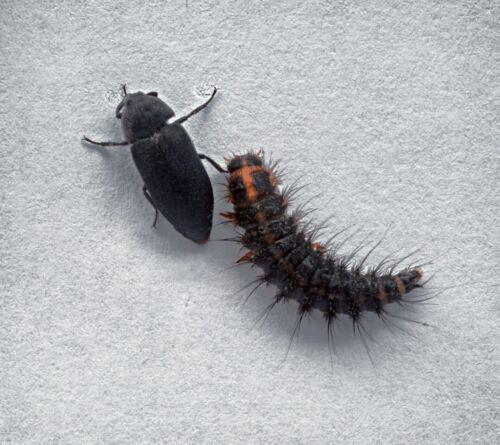 Live Dermestid Beetles and Larvae 8 Ounces 3 Day Heat Pack 5800+