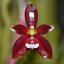 Phalaenopsis-cornu-cervi-var-chattaladae-Orchidee-Orchid-Orchidea-Orchidee miniatuur 1