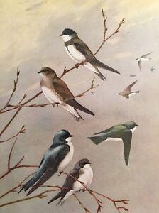 1929-Ornithology-Vintage-Bird-Print-Bank-Rough-Winged-Tree-Swallow-Nature-Branch