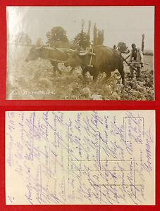 Foto-AK-MAZEDONIEN-1916-Typen-Ochsengespann-Pflug-10217