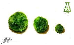 Charitable 10 Moss Balls +3 Extra Gratuit Meilleure Qualité Et Valeur Aquarium Plantes Vivantes Crevettes-afficher Le Titre D'origine Les Commandes Sont Les Bienvenues.