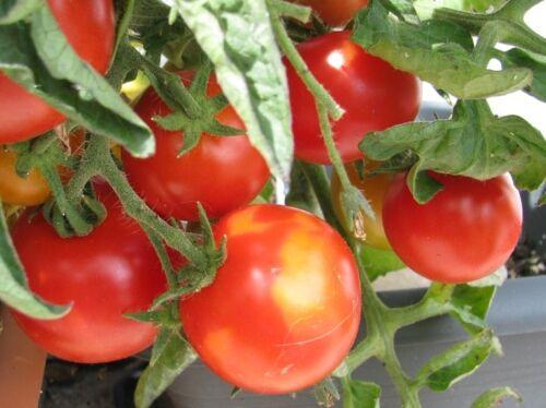 Alaska rote Tomate kältetolerant frühreifend robust kleinbleibend