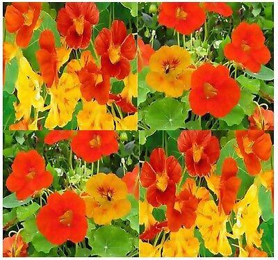 BULK ~ NASTURTIUM Flower Seeds  Edible & Decorative Grows quickly blooms heavily