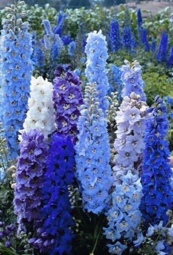 50 Bright Blue Delphinium Mix Seeds Perennial Garden Flower Bright Sun Shade
