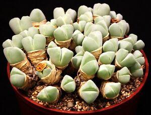 rare succlent 10 seeds Cheiridopsis Pillansii living stone