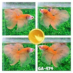 (GA-474) Orange Fancy Halfmoon Nemo Koi - Live Male Betta Fish - VIP Grade A+