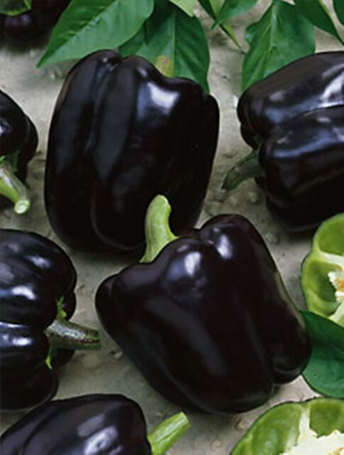 Sweet Pepper Chornyy Kon - Heirloom -  Vegetable Seeds - NON GMO