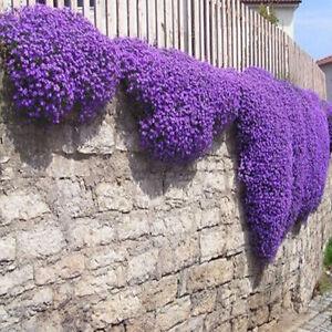200-Romantic-Purple-mustard-seeds-home-garden-fence-decor-Purple-Flower-Set-de