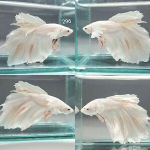 Live Betta Fish Male Rose White Dumbo Halfmoon Plakat Supper grade