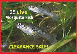25-Live-Gambusia-Mosquito-Fish-Koi-Pond-Aquarium-Feeder-Fish-Hardy-Guppy